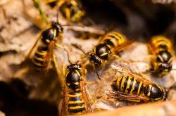 wasp_removal_mornington_peninsula